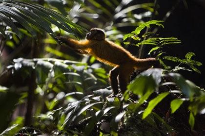 Le singe apprend à vivre à l'état sauvage